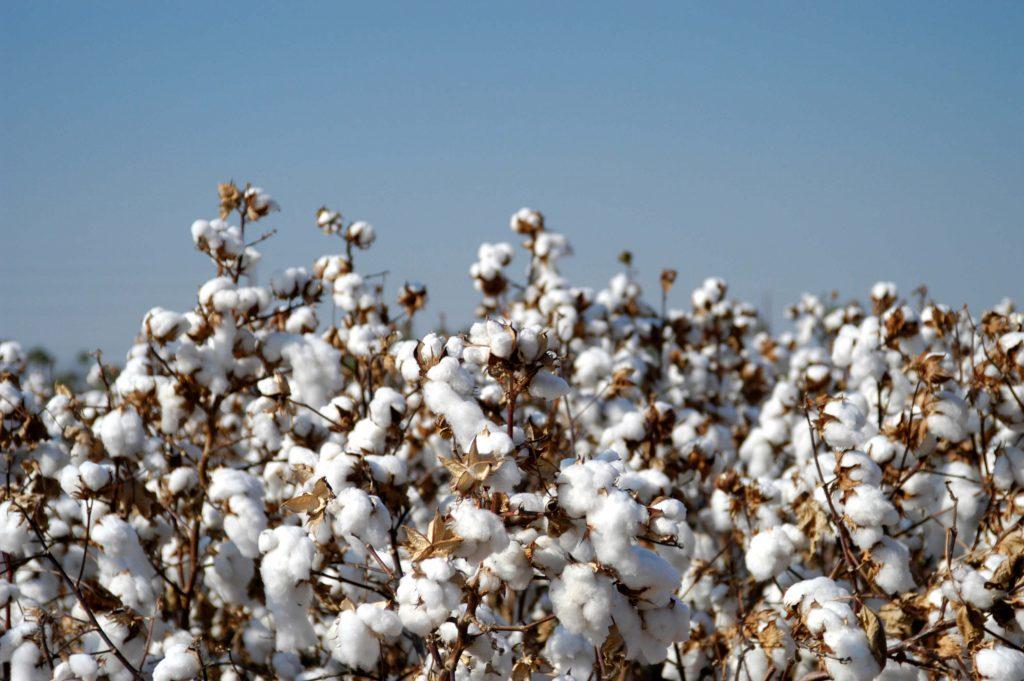 impacto ambiental do algodão